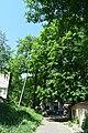 Віковий дуб-красень DSC 0871.jpg