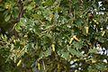 Дуб звичайний, Quercus robur L.jpg