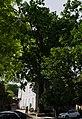 Дуб на вулиці Архітектора Артинова, 24.JPG
