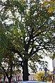 Дуб скельний у Кам'янець-Подільському. Фото 2.jpg