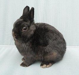 3. Карликовый нидерландский (Netherland Dwarf Rabbit)
