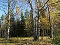 Опушка леса - panoramio (1).jpg