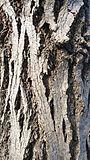 Пенсилвански ясен - кора 2.jpg