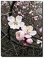 Сибирский абрикос - скромная красота.jpg