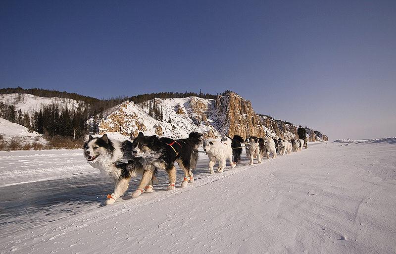 File:Упряжка якутских лаек.jpg