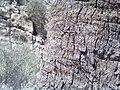 افتاب پرست بر روی تنه درخت نخل - panoramio.jpg