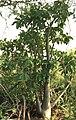 شجرة العَدَنْ.jpg
