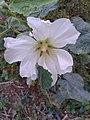 گل ختمی باغی سفید.jpg
