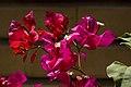 گل کاغذی-Bougainvillea 12.jpg
