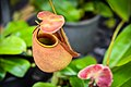หม้อข้าวหม้อแกงลิง tropical pitcher plants Genus Nepenthes Photographed by Trisorn Triboon 16.jpg
