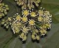 刺通草 Trevesia palmata -香港公園 Hong Kong Park- (9213305127).jpg
