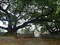 古榕 - Big Banyan Trees - 2015.12 - panoramio.jpg