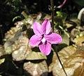 山殼骨屬 Pseuderanthemum alatum -比利時國家植物園 Belgium National Botanic Garden- (9200883382).jpg