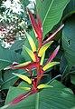 彩虹鳥蕉 Heliconia psittacorum -悉尼植物園 Royal Botanic Gardens, Sydney- (46406844792).jpg