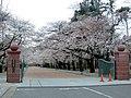 日本大学工学部の桜 正門前.jpg