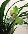 日本春蘭帝冠 Cymbidium goeringii 'Emperor Crown' -香港沙田國蘭展 Shatin Orchid Show, Hong Kong- (12712611785).jpg