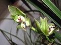 春劍象牙蝶 Cymbidium longibracteatum 'Ivory Butterfly' -香港沙田國蘭展 Shatin Orchid Show, Hong Kong- (12304546446).jpg