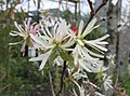 檵木 Loropetalum chinense 'Hana Fubuki' -荷蘭園藝展 Venlo Floriade, Holland- (9240228210).jpg