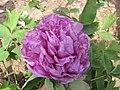 牡丹-假葛巾紫 Paeonia suffruticosa 'Pseudo Hemp-Kerchief Purple' -武漢東湖牡丹園 Wuhan, China- (12428275424).jpg