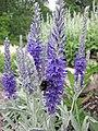 白婆婆納 Veronica incana -哥本哈根大學植物園 Copenhagen University Botanical Garden- (36893946316).jpg