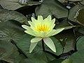 睡蓮 Nymphaea Marliacea Chromatella -紐西蘭威靈頓植物園 Wellington Botanic Garden, New Zealand- (45803858014).jpg