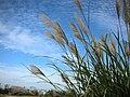 秋芒 Phragmites - panoramio.jpg