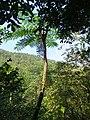 筆筒樹 Cyathea lepifera - panoramio.jpg
