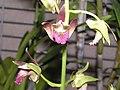紫花美冠蘭 Eulophia spectabilis -香港沙田國蘭展 Shatin Orchid Show, Hong Kong- (9193428230).jpg