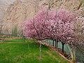 美丽杏花 - Beautiful Apricot Blossom - 2015.04 - panoramio.jpg