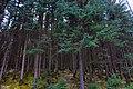 荷叶坪北坡小路的云杉林——2012-04-30 - panoramio.jpg