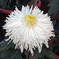 菊花-管桂型 Chrysanthemum morifolium Inner-floret-tubular-series -中山小欖菊花會 Xiaolan Chrysanthemum Show, China- (9237445155).jpg