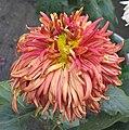菊花-紅寶石 Chrysanthemum morifolium 'Ruby' -香港雲泉仙館 Ping Che, Hong Kong- (12027170076).jpg