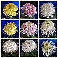 菊花 Chrysanthemum morifolium Cultivars 8 -上海松江方塔園 Song Jiang, Shanghai- (12049701204).jpg