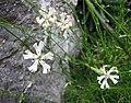蠅子草屬 Silene waldsteinii -比利時 Ghent University Botanical Garden, Belgium- (9229787026).jpg