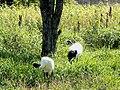 釧路市丹頂鶴自然公園 Red-crowned Crane ( Grus japonensis) in Kushiroshi Tanchozuru Natural Park· - panoramio.jpg