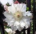 鐵線蓮 Clematis 'Midori' -上海國際花展 Shanghai International Flower Show- (17163229860).jpg