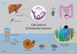 Schistosoma mansoni - Life Cycle of Schistosoma mansoni
