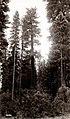 1916. Large specimen of sugar pine (Pinus lambertiana). Jenny Creek, Oregon. (39369381675).jpg