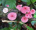 2.marasmius.hemat - Flickr - Dick Culbert.jpg