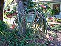 2010 SELENACEREUS pterantus begining to open 03.jpg