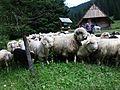 2011 kulturowy wypas owiec w Dolinie Chochołowskiej (2).JPG