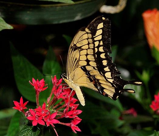 2012-07-20 14-51-25-Papilio cresphontes.jpg