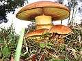 2013-06-01 Gymnopilus junonius (Fr.) P.D. Orton 334865.jpg