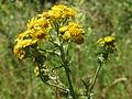 20140613Jacobaea vulgaris2.jpg