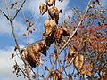 20141107Koelreuteria paniculata2.jpg