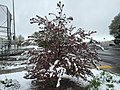 2015-05-07 08 04 50 A Crabapple covered by a late spring wet snowfall on College Avenue in Elko, Nevada.jpg