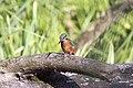 20150920 057 Kessel Weerdbeemden IJsvogel (20946617493).jpg