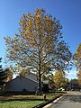2016-11-15 11 26 20 American Sycamore displaying autumn foliage along Tranquility Court in the Franklin Farm section of Oak Hill, Fairfax County, Virginia.jpg