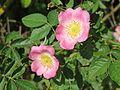 20160609Rosa rubiginosa1.jpg