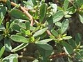 20160809Portulaca oleracea1.jpg